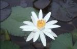 Edebiyat- Felsefe İlişkisi- Farklılıklar- Ortaklıklar lotus çiçeği